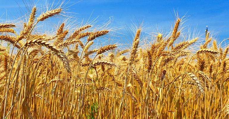 Limagrain-Cereal-Seeds-Rebel-wheat-new-variety-1016F2-1245A