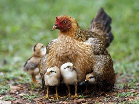 bangkok-thailand-chicken-hen-chicks